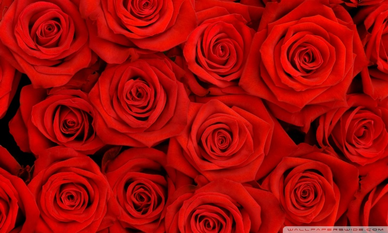 red_roses_2-wallpaper-800x480.jpg.cafa70a1580a2b13be88771d53961e68.jpg